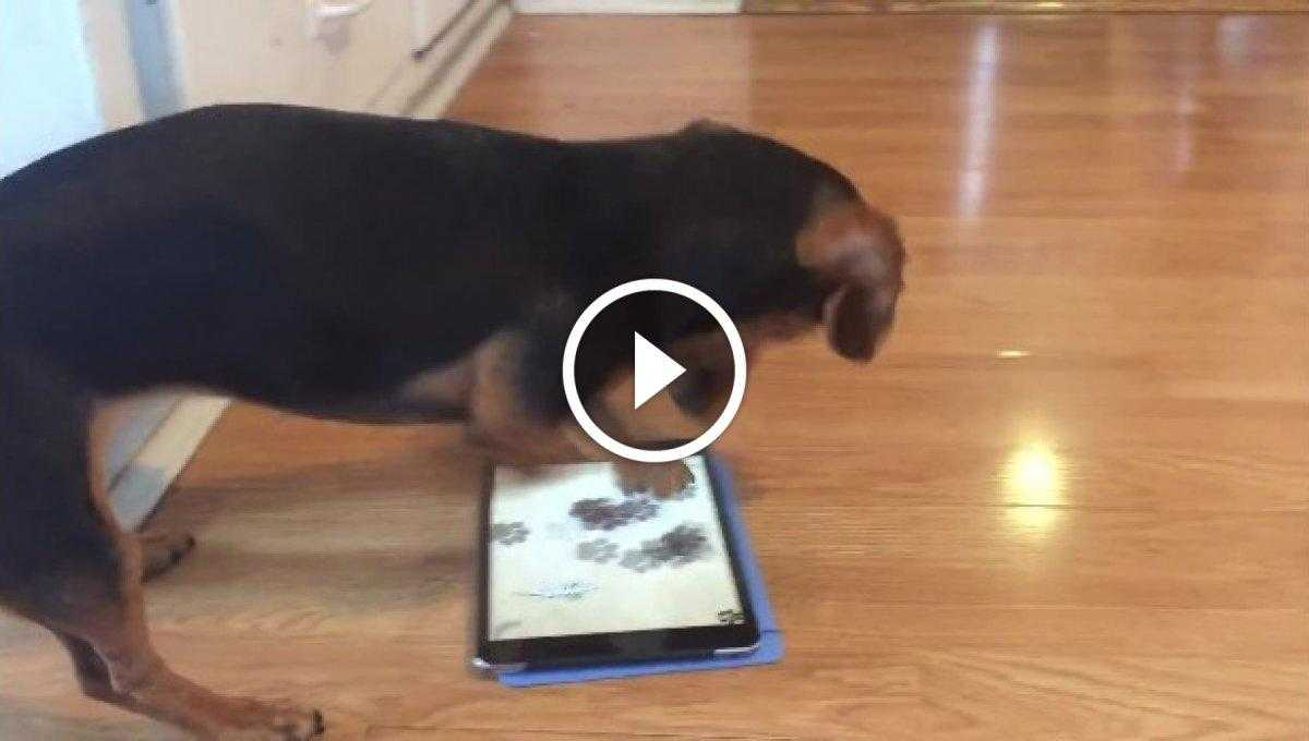 Tablette Oyun Oynayan Köpek [Video]
