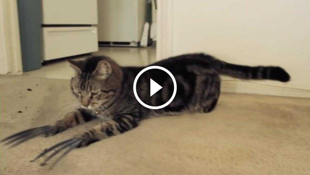 Wolverin Kedi [Video]