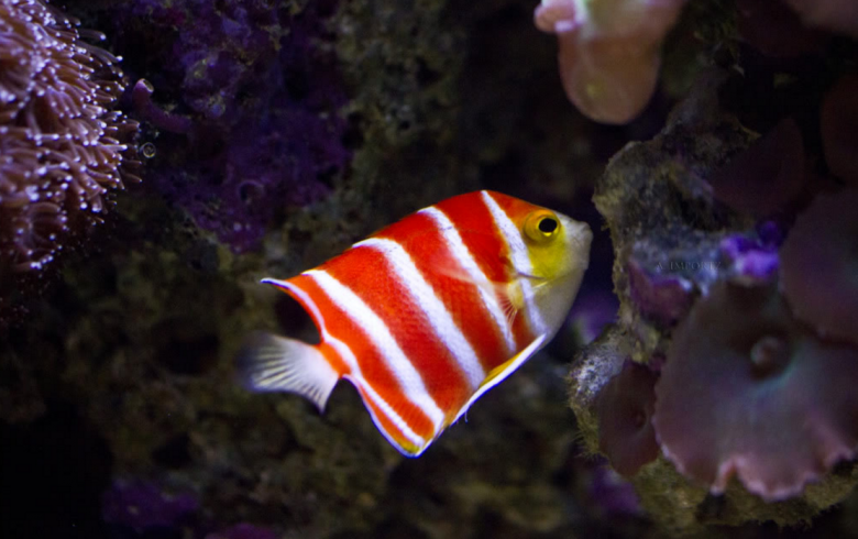 Peppermint Angelfish 30.000$